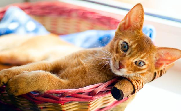 חתול שוכב במיטה (צילום: Vlad Thepesh, Shutterstock)