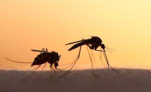 יתושים (צילום: mycteria, ShutterStock)