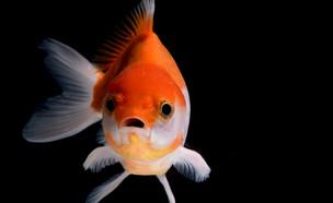 דג זהב (צילום: Kagai19927, Shutterstock)