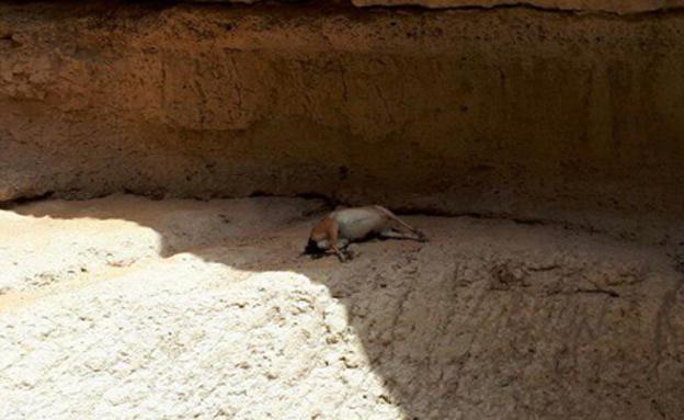 יעל מת בעקבות זיהום הנחל (צילום: ג'ורג' נורקין רשות הטבע והגנים)