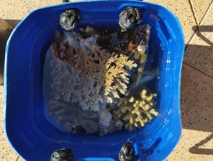 """אלמוגים שנמצאו בחוף קצא""""א (צילום: יחסי ציבור)"""