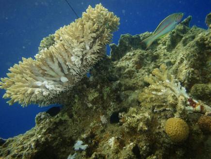 אלמוגים פגועים באילת (צילום: יחסי ציבור)