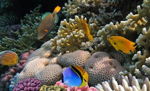 אלמוגים בים סוף (צילום: Vlad61, ShutterStock)
