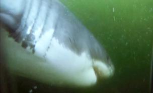 תחרות שחייה פלפס נגד כריש לבן (צילום: חדשות 2)