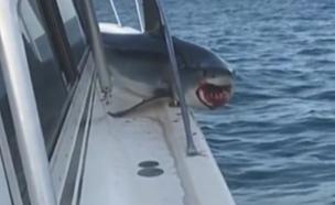 הכריש קפץ לביקור בספינה (צילום: NEWSFLARE/CaptainDon)