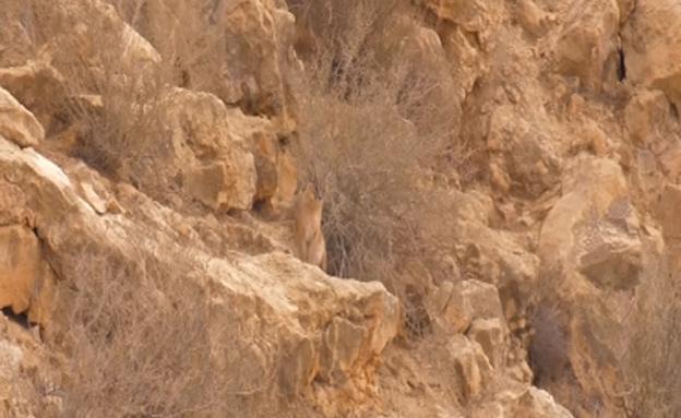 מזהים את הקרקל המוסווה? (צילום: עמיר בלבן)