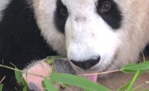 פנדה יולדת  גור פנדה נולד (צילום: רויטרס, CCTV)