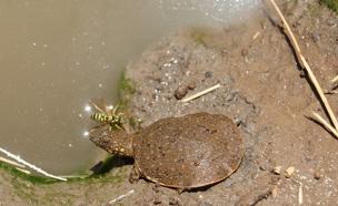 צפו: צבים צעירים משוחררים לקישון (צילום: אולגה ודוב, רשות נחל הקישון)
