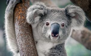 החיה הזאת תיכחד עד 2050 (צילום: Yatra, Shutterstock)