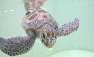 צבי הים בסכנה (צילום: חדשות 2)