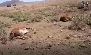 תיעוד פגרי הפרות ברמת הגולן