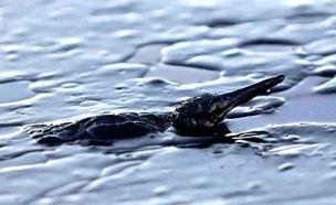 ציפור ים נאבקת לצוף מול חוף סלמינה (צילום: רויטרס)