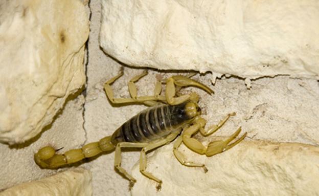עקרב צהוב, מין מסוכן וארסי (צילום: Simon Valentine \ 123RF)