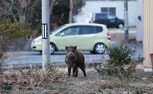 """חזירי הבר """"מהגרים"""" לסביבה העירונית (צילום: רויטרס)"""