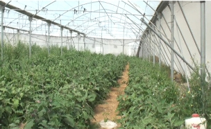 שדה הקנאביס שנתפס (צילום: חדשות 2)