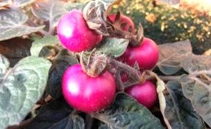 עגבניה סגולה וחציל אדום: חדשים ובריאים (צילום: רויטרס)