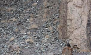 איפה הנמר? (צילום: טוויטר)