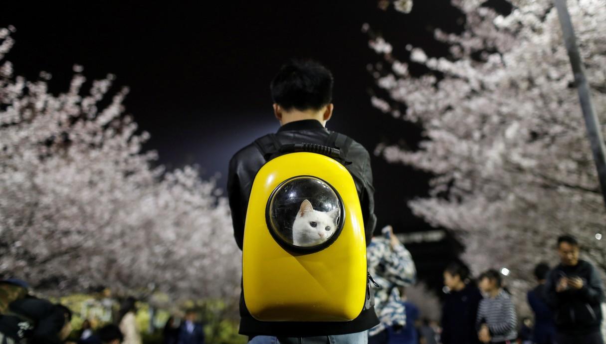 סיני עם חתול בתיק
