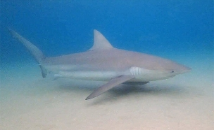 צפו: כרישים במימי חדרה (צילום: AQUAZOOM/ניב וינברגר)