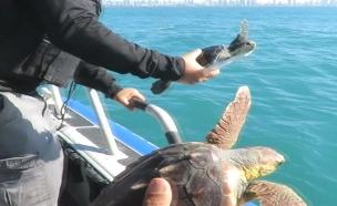 השיבה המרגשת הביתה של צבי הים (צילום: רשות הטבע והגנים)
