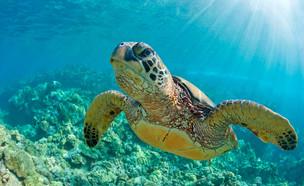 צב ים (אילוסטרציה: kateafter | Shutterstock.com )