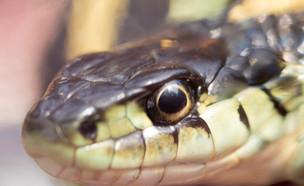 נחש (צילום: kateafter | Shutterstock.com )