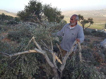 כ-100 עצי זית הושחתו