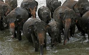 עדר פילים - אילוסטרציה (צילום: רויטרס)