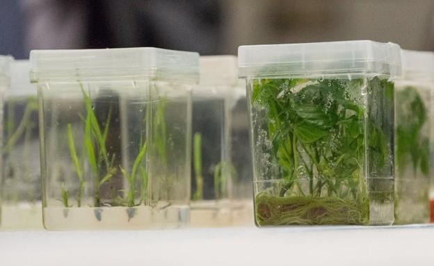 הצמח שבסכנת הכחדה (צילום:  Peter Gorman, flickr)