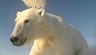 כך נראים חייהם של דובי הקוטב (צילום: USGS)