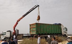 7 מהגמלים הועברו להסגר (צילום: דוברות המשטרה)