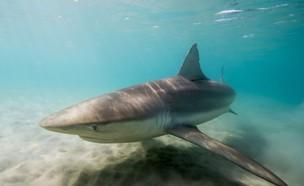 כרישים בחדרה (צילום: חגי נתיב, תחנת מוריס קאהן לחקר הים)