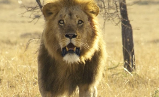 אריה (צילום: אינסטגרם\natgeowild ,@bobpoolefilms)