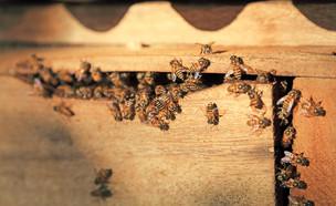 דבורים בצימר (צילום: artittaya laiwichien, shutterstock)