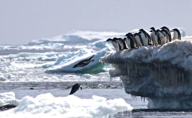צניחה במספרים הפינגווינים באזורים סמוכים (צילום: SKY NEWS)