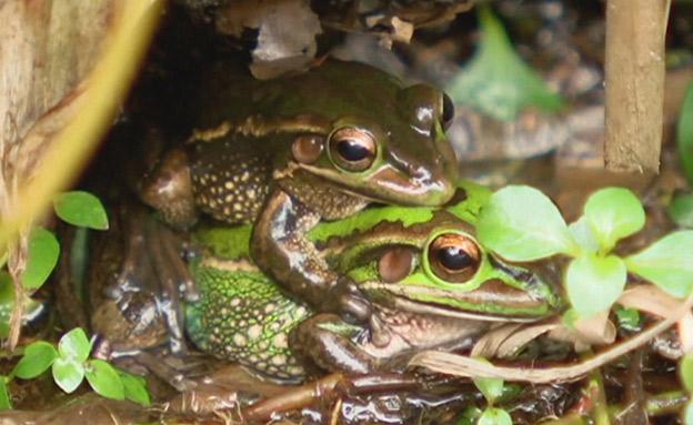 פתרון הפלא שיציל את הצפרדעים (צילום: AP)