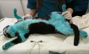 חתול נצבע בכחול (צילום: פייסבוק\Cats Of Israel - חתולים ישראלים)