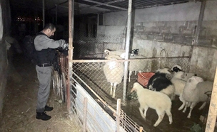 מציאת עדרו של חקלאי בן 97 מבית זית (צילום: חדשות 2)