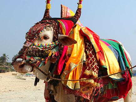 קדושה. פרה בהודו (צילום: 123RF)