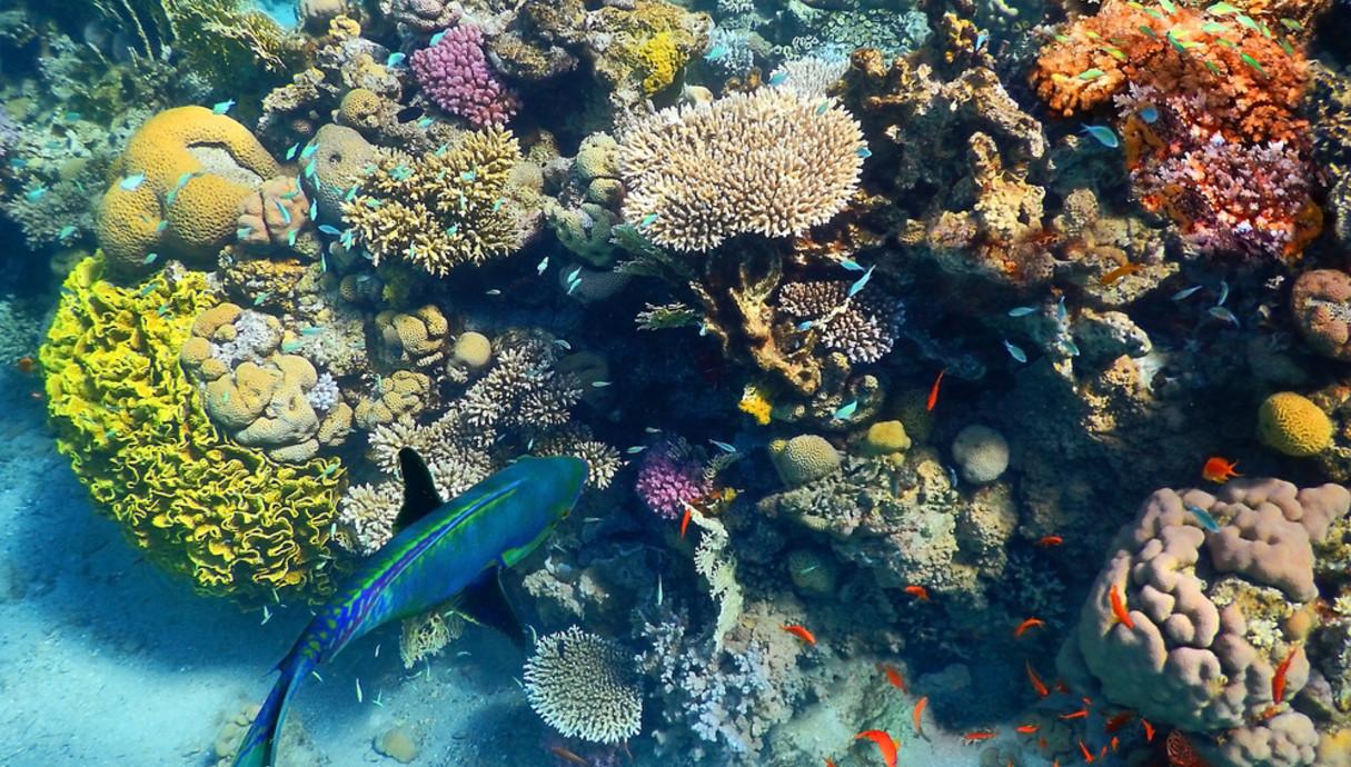 ריף האלמוגים