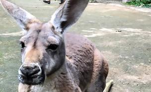 קנגורו (צילום: Fuzhou Zoo)