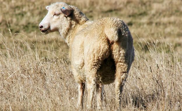 כבשה (צילום: Phassa K, Shutterstock)