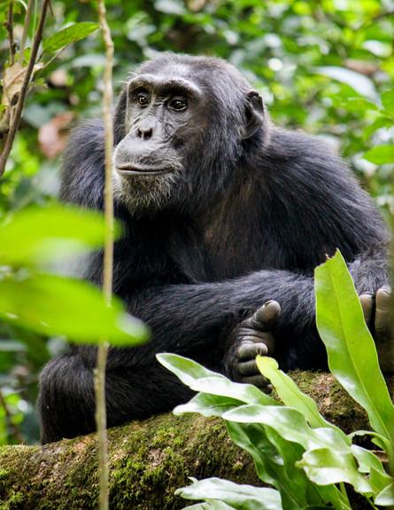 שימפנזה (צילום: Robin Nieuwenkamp - shutterstock)