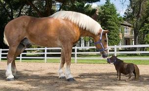 הסוס הגבוה והסוסה הנמוכה (צילום: CNN)