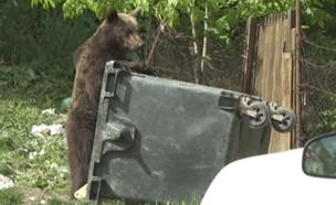 צפו: דובים מפחידים את התושבים ברומניה (צילום: enex)