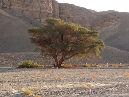 עץ שיטה בנחל רחם