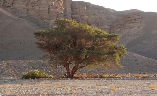עץ שיטה בנחל רחם (צילום: גיל חובב)