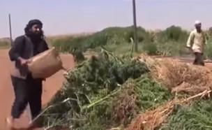 קנאביס בסוריה (צילום: יוטיוב/מגזין קנאביס)