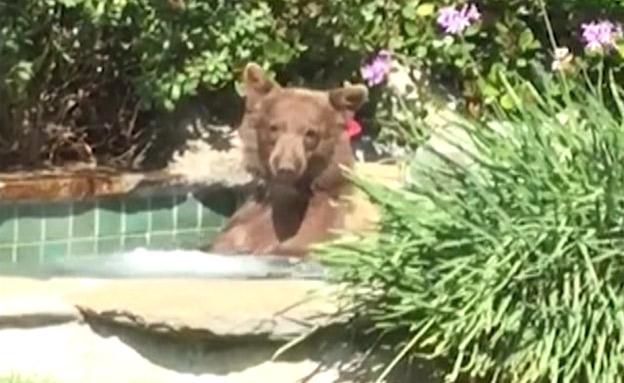 """צפו: דוב טובל בג'קוזי בארה""""ב (צילום: AP, חדשות)"""
