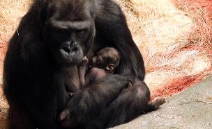 מזל טוב! תינוק-גורילה חדש נולד (צילום: AP, חדשות)